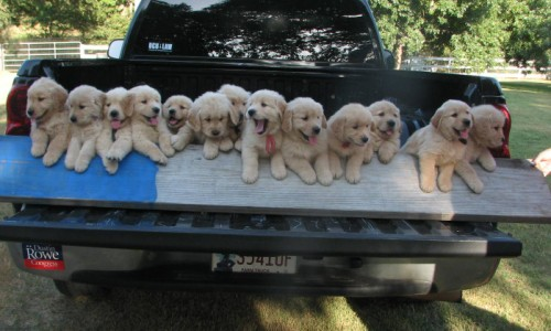 Golden retriever puppies for sale in east texas